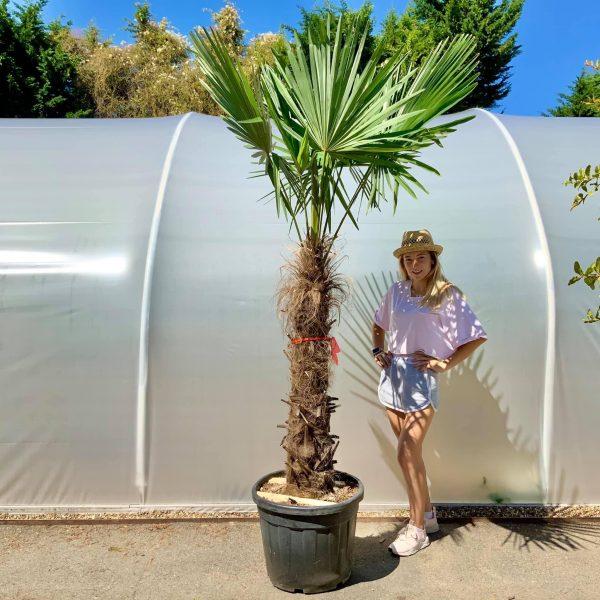 Trachycapus Fortunei (Chusan palm)   TRUNK 100-120 - IMG 4651