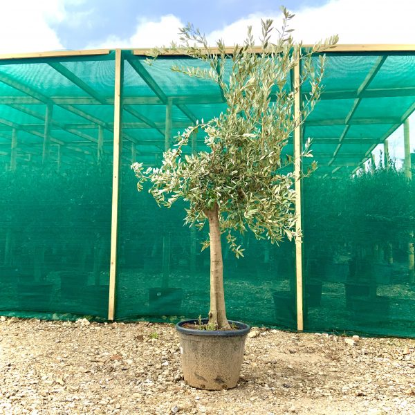 B72 Individual Tall Tuscan Olive, XL Trunk - IMG 0197 scaled