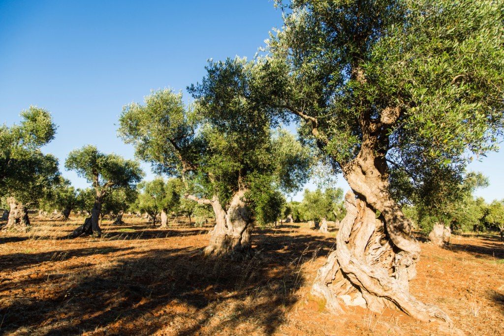 Olive Tree Care: Everything You Need to Know - Olive tree guide to care