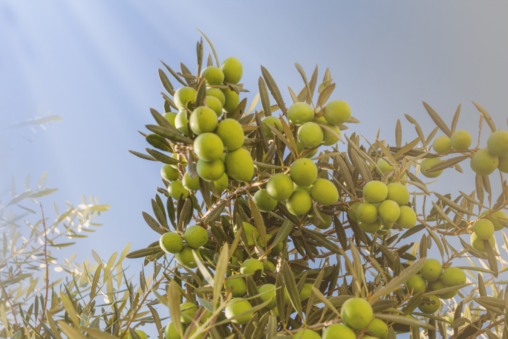 Olive Tree Care: Everything You Need to Know - Olive tree guide to care olive