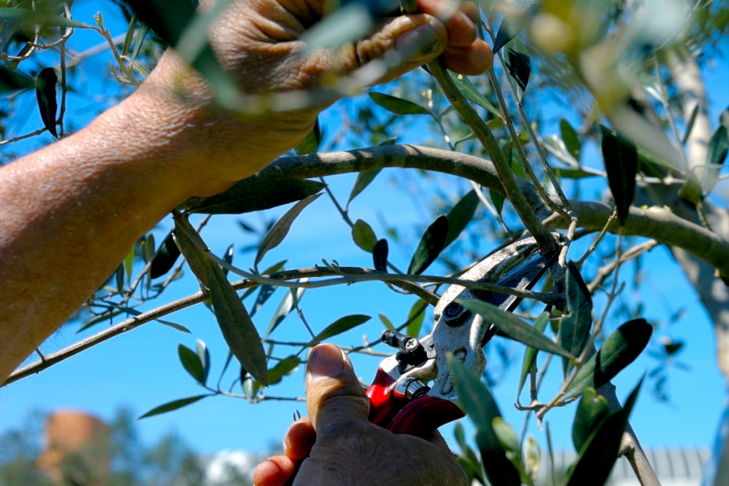 Olive Tree Care: Everything You Need to Know - Olive tree guide to care olive prune