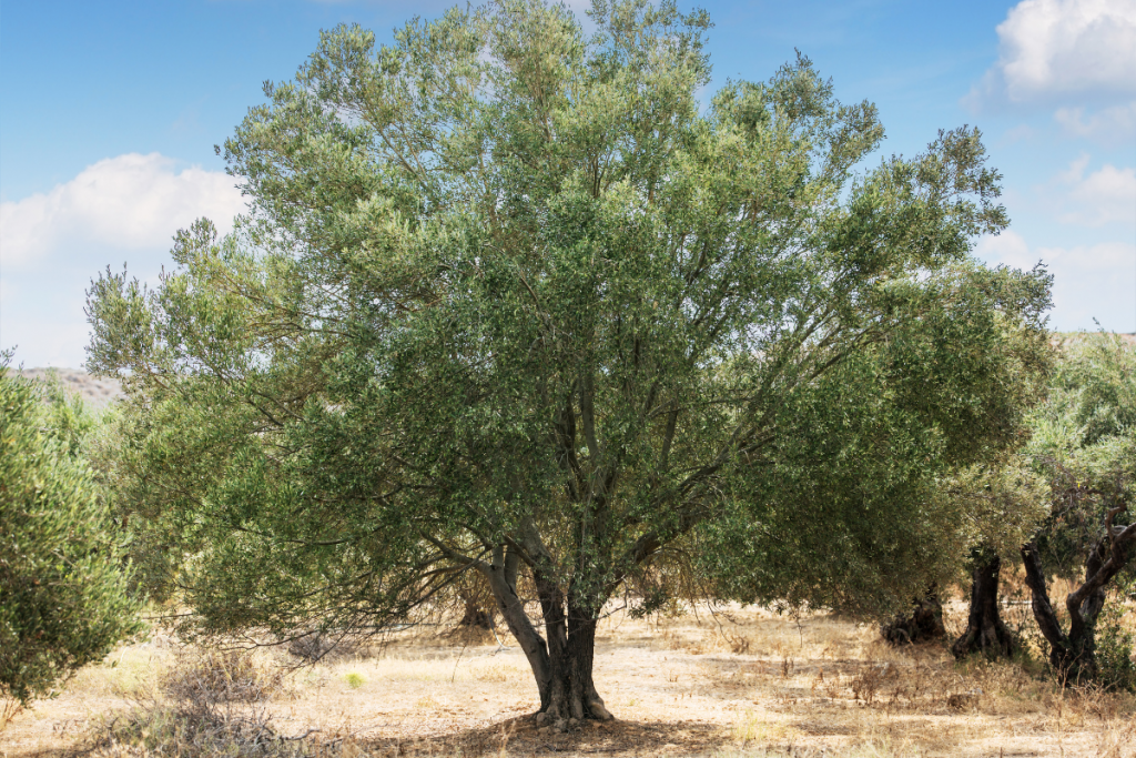 Olive Tree Care: Everything You Need to Know - Olive tree guide to care tree