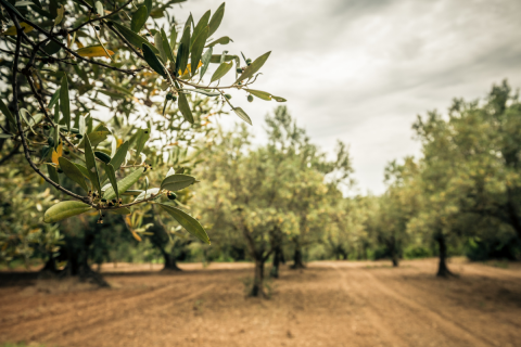 Olive Tree Care: Everything You Need to Know - Untitled design 59