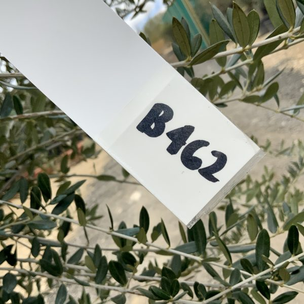 B462 Individual Thick Trunk Tuscan Olive XXL - IMG 3144 scaled