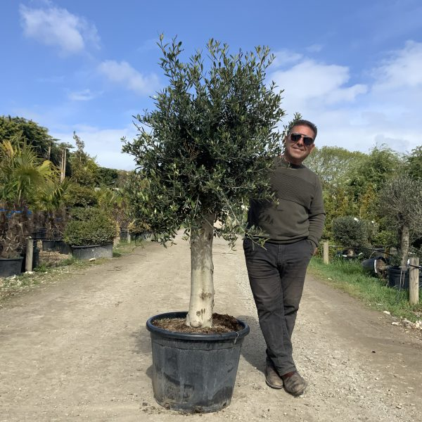 Tuscan Olive Tree 1.65M- 1.85M  XL Thick Stem - IMG 3489 scaled