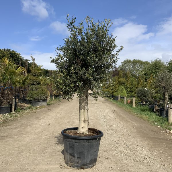 Tuscan Olive Tree 1.65M- 1.85M  XL Thick Stem - IMG 3491 scaled