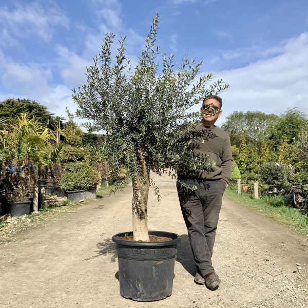 Tuscan Olive Tree 2M- 2.10M  XL Thick Stem - IMG 3494 scaled