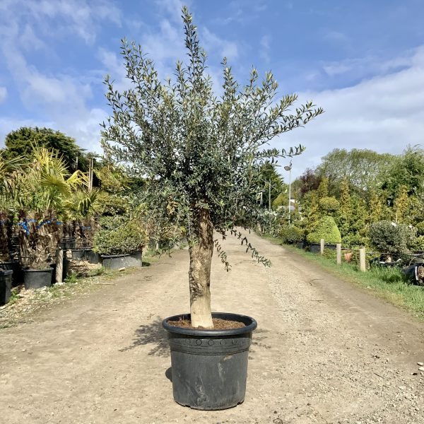 Tuscan Olive Tree 2M- 2.10M  XL Thick Stem - IMG 3495 scaled