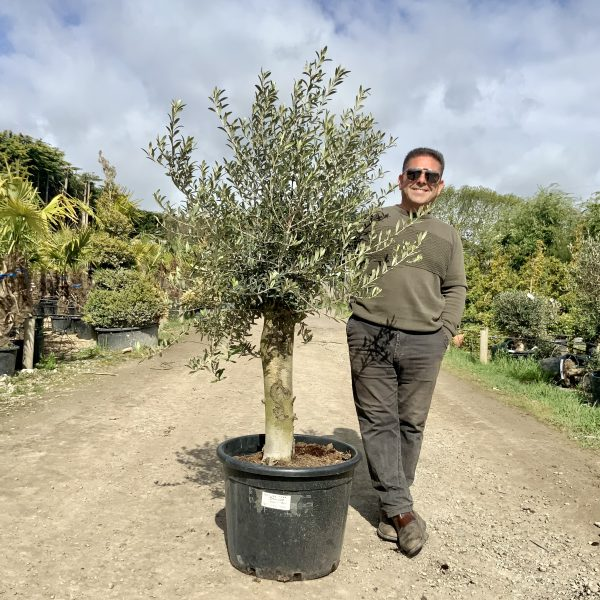 Tuscan Olive Tree 1.60M- 1.80M  XL Thick Stem - IMG 3505 scaled