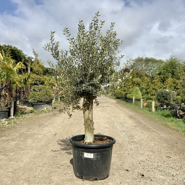 Tuscan Olive Tree 1.60M- 1.80M  XL Thick Stem - IMG 3509 scaled