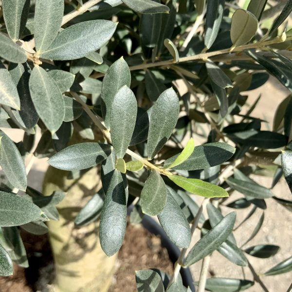 Tuscan Olive Tree 1.60M- 1.80M  XL Thick Stem - IMG 3510 scaled