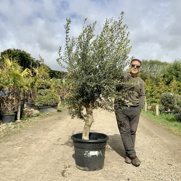 Tuscan Olive Tree 1.90M- 2.10M  XL QUIRKY Stem - IMG 3512 scaled