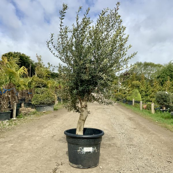 Tuscan Olive Tree 1.90M- 2.10M  XL QUIRKY Stem - IMG 3516 scaled