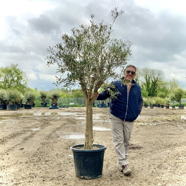 Tuscan Olive Tree 1.90M- 2.20M  XL Thick Trunk Multi- Stem - IMG 3520 scaled