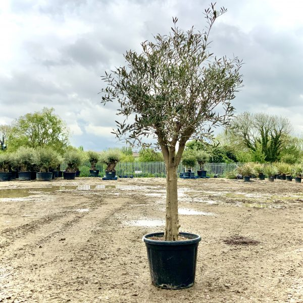 Tuscan Olive Tree 1.90M- 2.20M  XL Thick Trunk Multi- Stem - IMG 3522 scaled