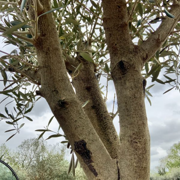 Tuscan Olive Tree 1.90M- 2.20M  XL Thick Trunk Multi- Stem - IMG 3523 scaled
