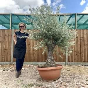 Gnarled Olive Trees £264.95 - £399.95