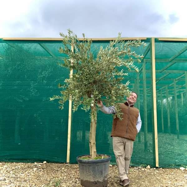 a514 Individual Tuscan Olive Multistem Tree XL - IMG 9159 scaled