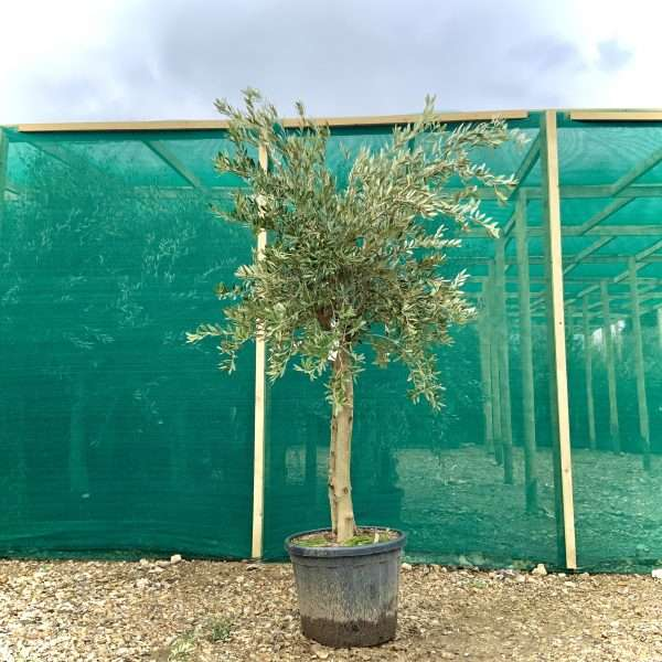 a514 Individual Tuscan Olive Multistem Tree XL - IMG 9160 scaled