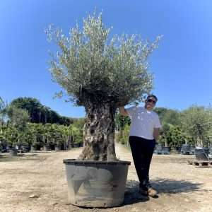 Gnarled Olive Trees £400.00 - £800.00