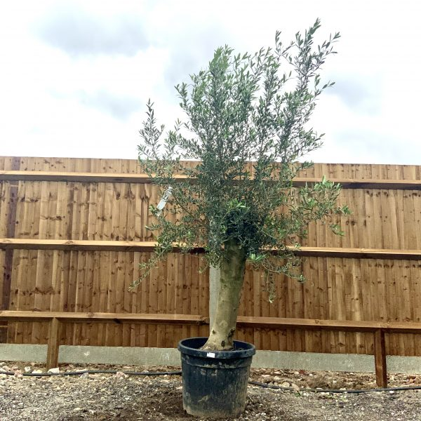 """C266 Individual Tuscan Olive Tree XL """"Summer Deal"""" - IMG 7618 scaled"""
