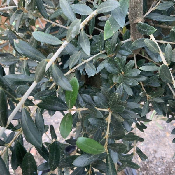 """C266 Individual Tuscan Olive Tree XL """"Summer Deal"""" - IMG 7619 scaled"""