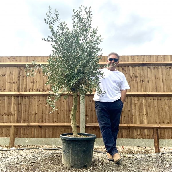 """C270 Individual Tuscan Olive Tree XL """"Summer Deal"""" - IMG 7636 scaled"""
