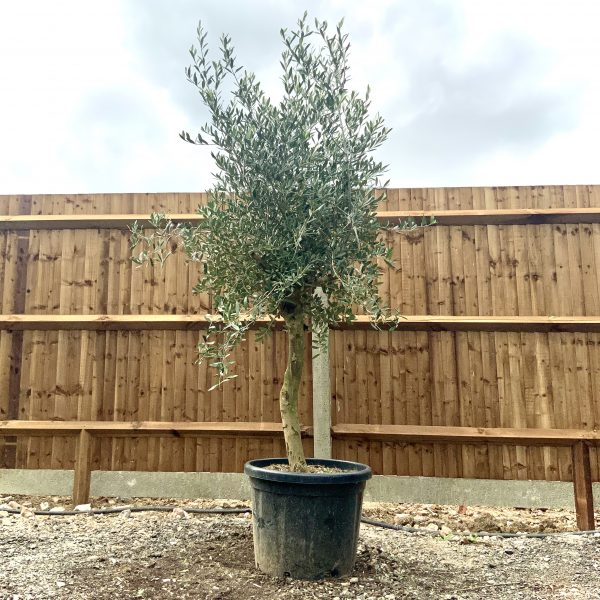"""C270 Individual Tuscan Olive Tree XL """"Summer Deal"""" - IMG 7637 scaled"""