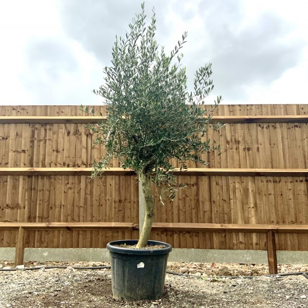 """C270 Individual Tuscan Olive Tree XL """"Summer Deal"""" - IMG 7638 scaled"""
