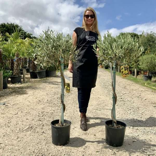 """2X Tuscan Olive Tree Spiral Stem 1.10-1.20M """"Summer Deal"""" - IMG 7654 scaled"""