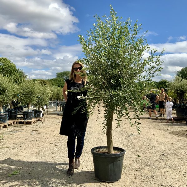 """1 Tuscan Olive Tree XL thick stem tall 1.90-2.10M """"Summer Deal"""" - IMG 7692 3 scaled"""