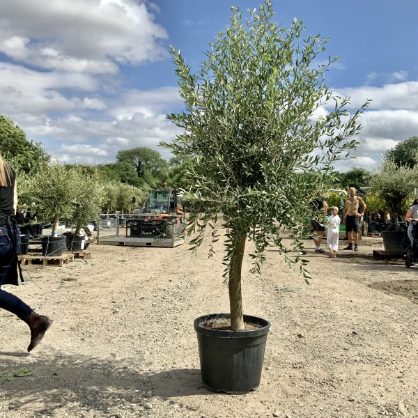 """1 Tuscan Olive Tree XL thick stem tall 1.90-2.10M """"Summer Deal"""" - IMG 7693 3 scaled"""
