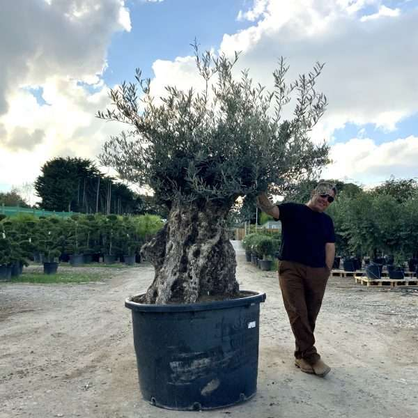 D26 Individual Gnarled Olive Tree XXL Patio Pot - IMG 0316 scaled