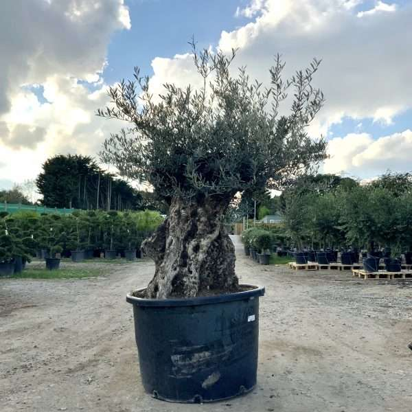 D26 Individual Gnarled Olive Tree XXL Patio Pot - IMG 0317 scaled