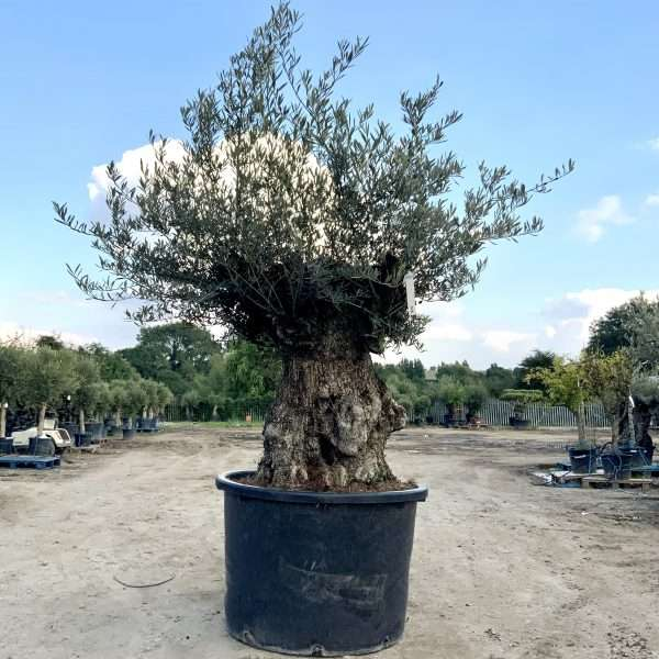 D26 Individual Gnarled Olive Tree XXL Patio Pot - IMG 0319 scaled