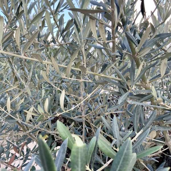 D26 Individual Gnarled Olive Tree XXL Patio Pot - IMG 0321 scaled