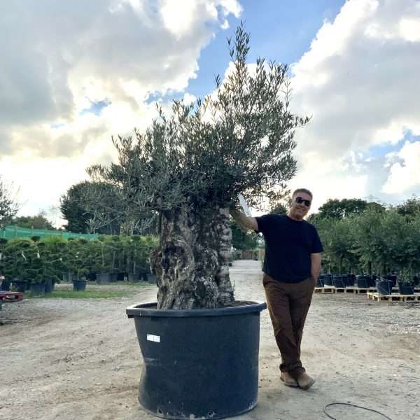D27 Individual Gnarled Olive Tree XXL Patio Pot - IMG 0323 scaled