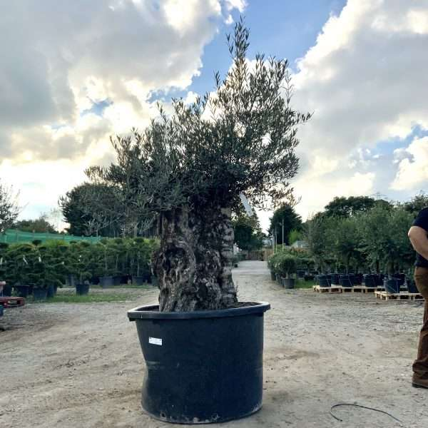 D27 Individual Gnarled Olive Tree XXL Patio Pot - IMG 0324 scaled