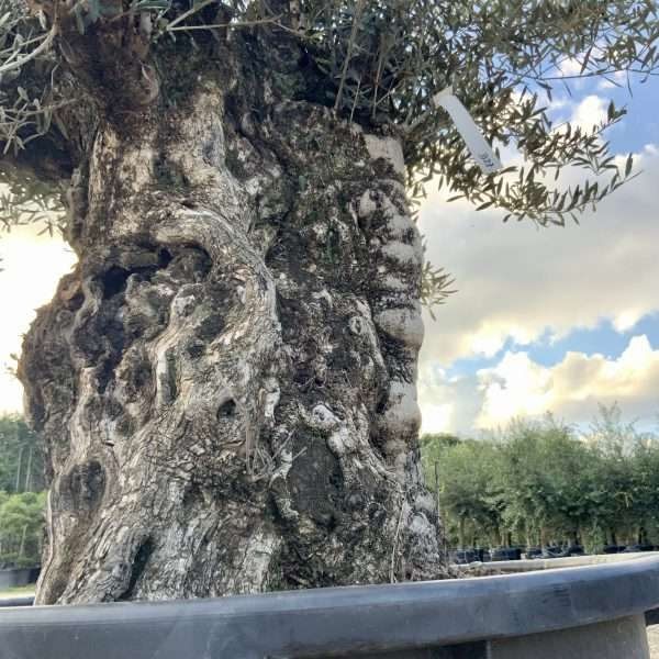 D27 Individual Gnarled Olive Tree XXL Patio Pot - IMG 0325 scaled