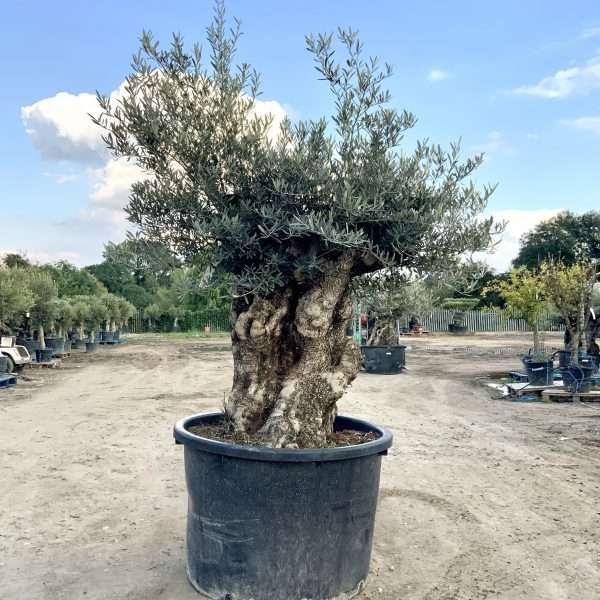 D27 Individual Gnarled Olive Tree XXL Patio Pot - IMG 0326 scaled
