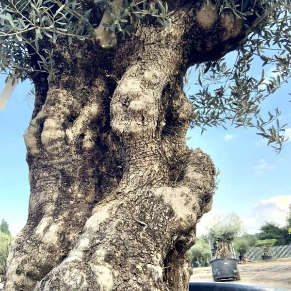 D27 Individual Gnarled Olive Tree XXL Patio Pot - IMG 0327 scaled