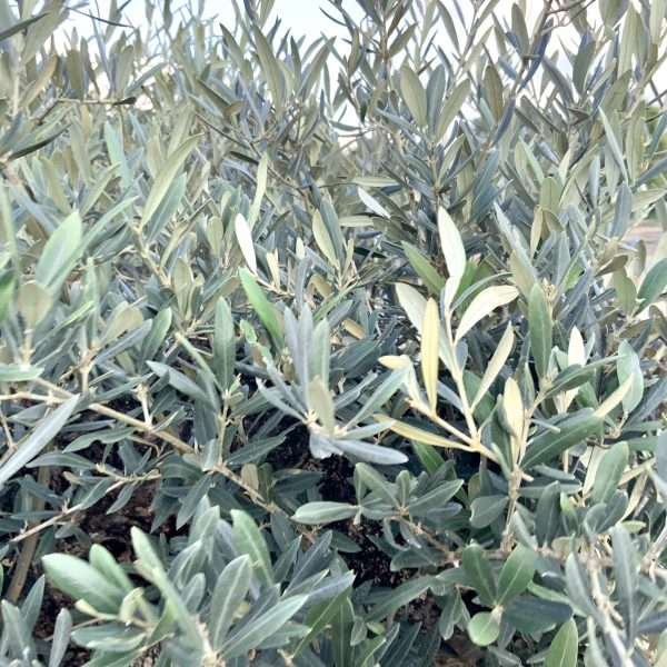 D27 Individual Gnarled Olive Tree XXL Patio Pot - IMG 0328 scaled