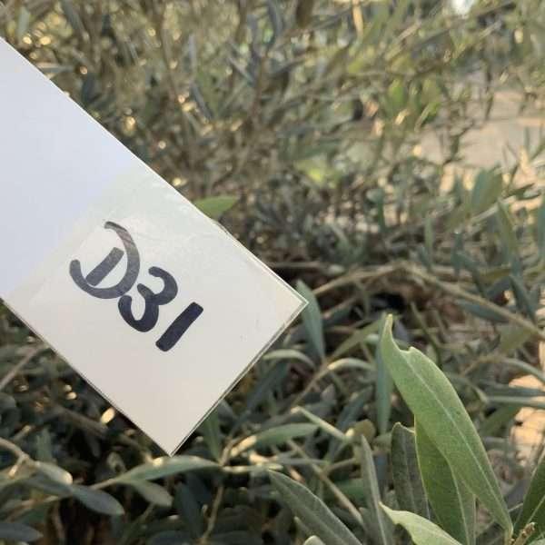 D31 Individual Gnarled Olive Tree XXL - IMG 0352 scaled