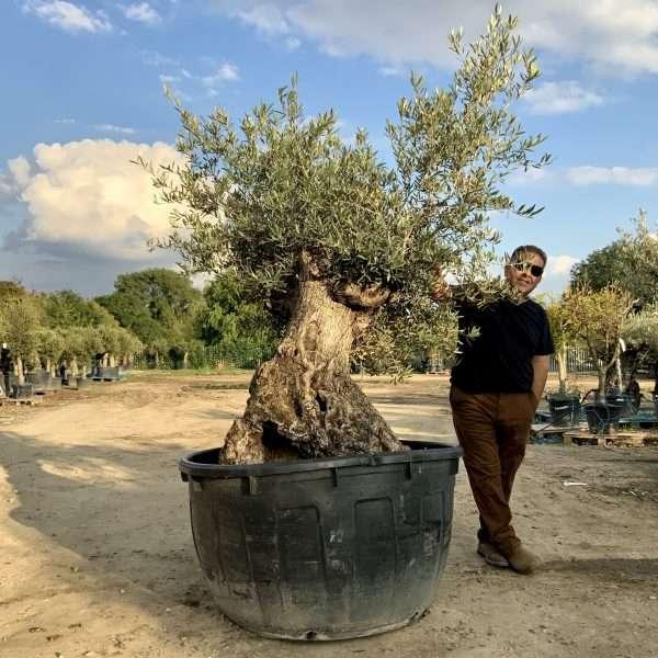 D31 Individual Gnarled Olive Tree XXL - IMG 0353 scaled