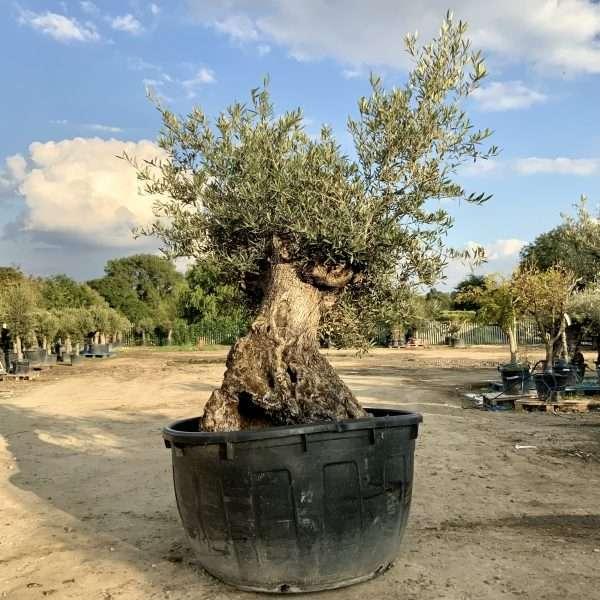 D31 Individual Gnarled Olive Tree XXL - IMG 0354 scaled