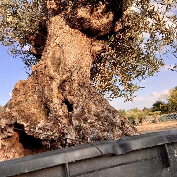 D31 Individual Gnarled Olive Tree XXL - IMG 0355 scaled