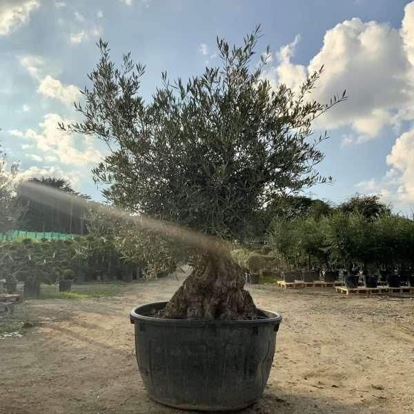 D31 Individual Gnarled Olive Tree XXL - IMG 0356 scaled