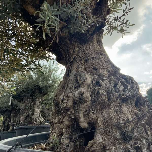 D31 Individual Gnarled Olive Tree XXL - IMG 0357 scaled