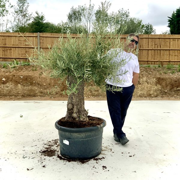 """C374 Individual Gnarled Olive Tree XXL """"Summer Deal"""" - IMG 8489 scaled"""