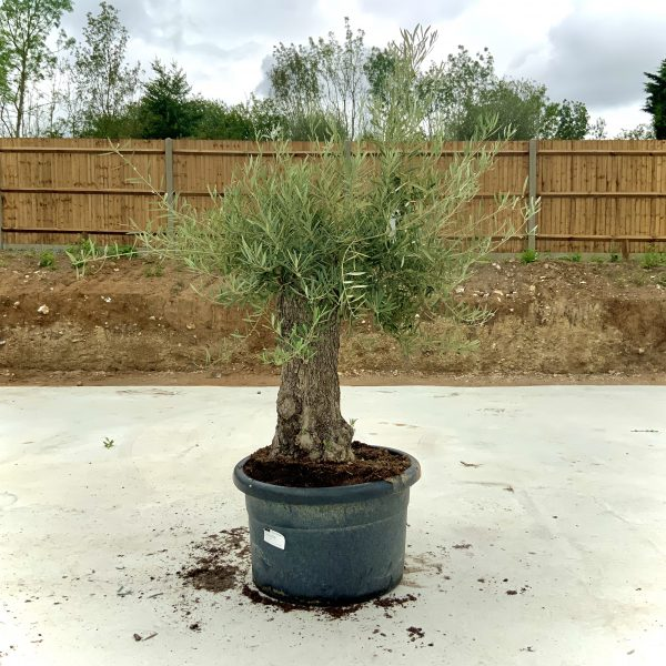 """C374 Individual Gnarled Olive Tree XXL """"Summer Deal"""" - IMG 8490 scaled"""
